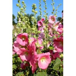 Malva real rosa